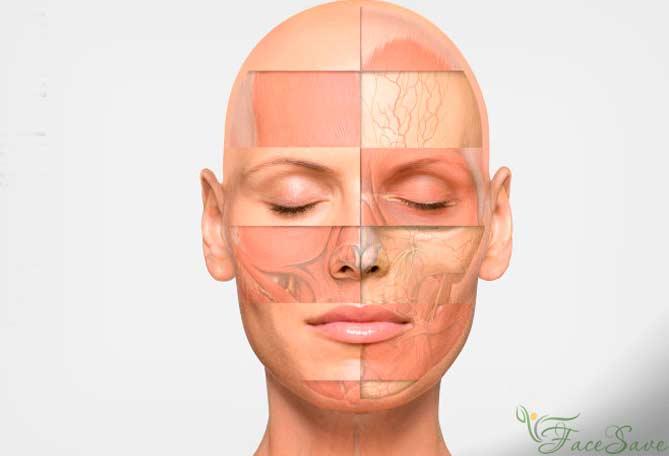 Анатомия лица для косметологов