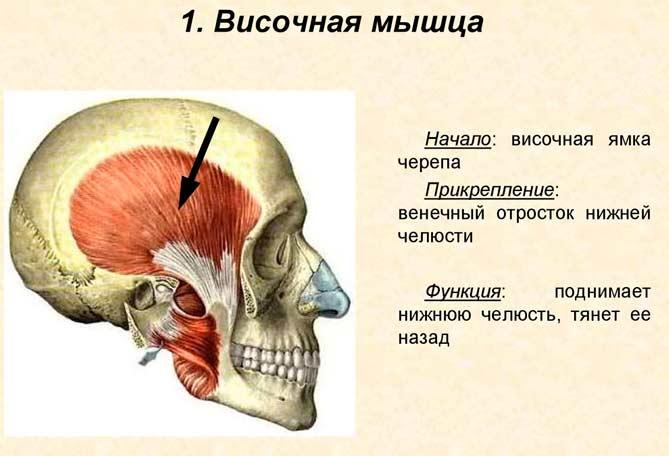 Височная мышца