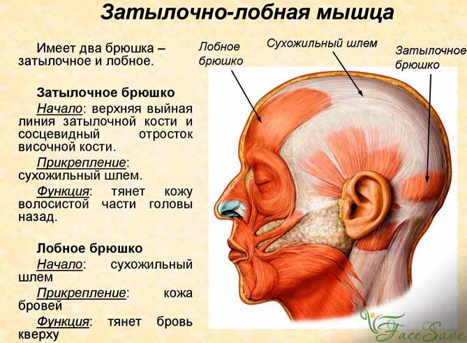 Затылочно лобная мышца