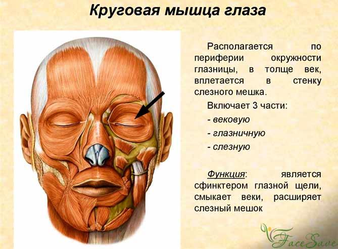Круговые глазные мышцы