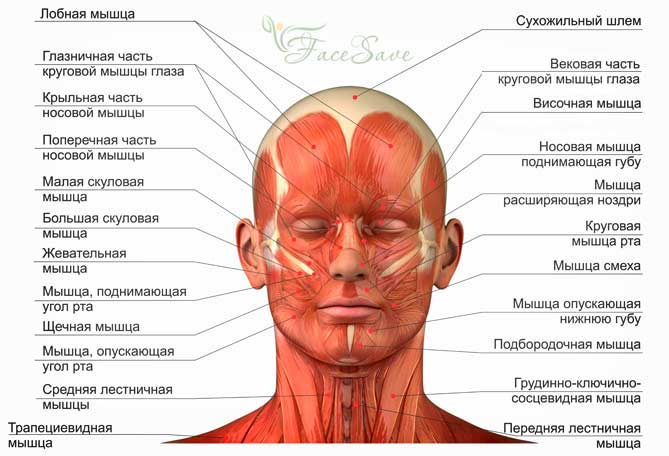 Мышцы лица ифункции