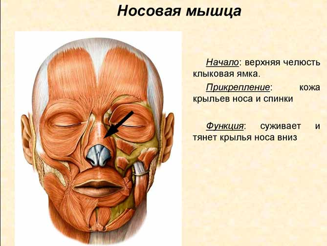 Носовая мышца