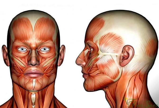 Олицевых мускулах