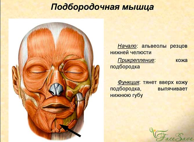 Подборочный мускул