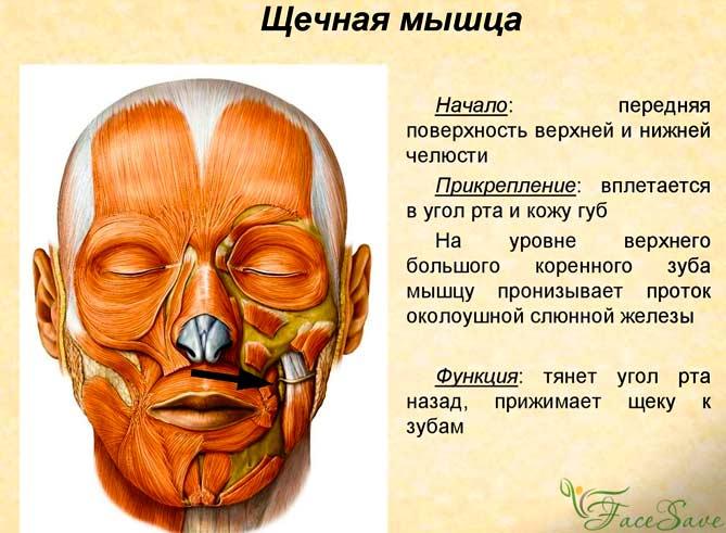 Щёчные мускулы