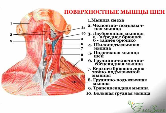 поверхностная шейная мышечная группа