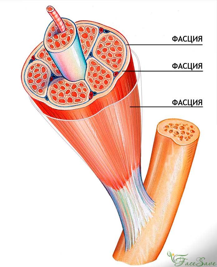Функции миофасций