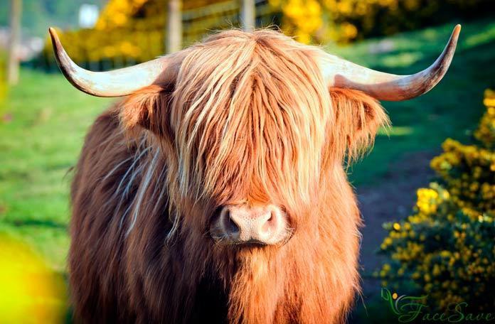 Маска для волос из семени быка
