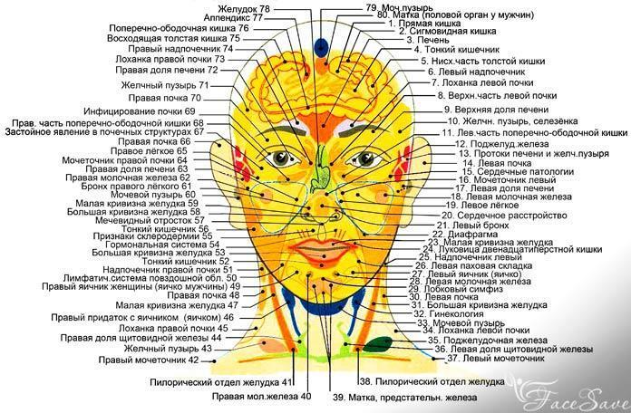 Проекция органов на лице