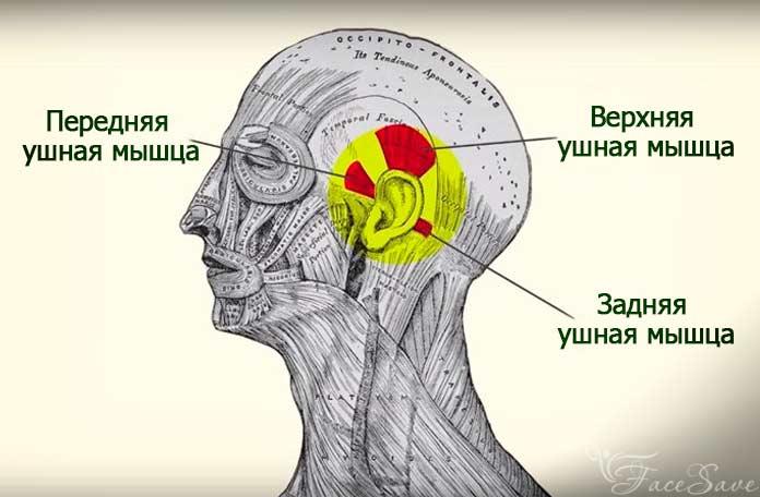 Мышцы ушей